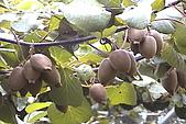 清境維也納露營區-黃金奇異果(獼猴桃)(小太陽):奇異果-005-黃金色肉
