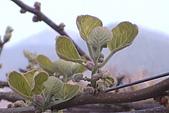 清境維也納露營區-黃金奇異果(獼猴桃)(小太陽):奇異果-001-苞葉