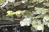 清境維也納露營區-黃金奇異果(獼猴桃)(小太陽):奇異果-002-葉