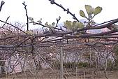 清境維也納露營區-黃金奇異果(獼猴桃)(小太陽):奇異果-002-棚架