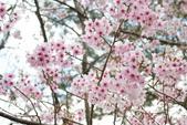 2010 阿里山櫻花:DSC01853.JPG
