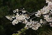 2010阿里山.櫻花.春浪漫:20100318阿里山0345.JPG