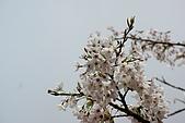 2010阿里山.櫻花.春浪漫:20100318阿里山0346.JPG