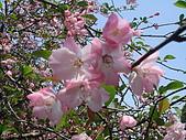 2010阿里山.櫻花.春浪漫:20100318阿里山0030.JPG