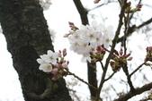 2010 阿里山櫻花:DSC01722.JPG