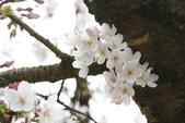 2010 阿里山櫻花:DSC01725.JPG