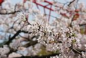 2010阿里山.櫻花.春浪漫:20100318阿里山0284.JPG