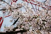 2010阿里山.櫻花.春浪漫:20100318阿里山0285.JPG