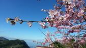 2013 奮起湖-石棹櫻花: