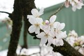 2010 阿里山櫻花:DSC01736.JPG