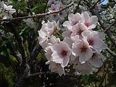 2010阿里山.櫻花.春浪漫:20100318阿里山0033.JPG