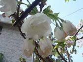 2010阿里山.櫻花.春浪漫:20100318阿里山0034.JPG