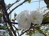 2010阿里山.櫻花.春浪漫:20100318阿里山0035.JPG