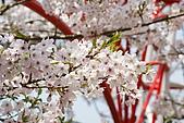 2010阿里山.櫻花.春浪漫:20100318阿里山0291.JPG