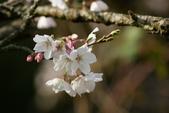 2010 阿里山櫻花:DSC01614.JPG
