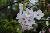 2010 阿里山櫻花:DSC01576.JPG