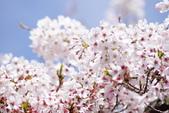 2014 阿里山櫻花:DSC04367.JPG