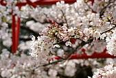 2010阿里山.櫻花.春浪漫:20100318阿里山0297.JPG