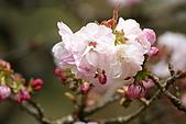 2010阿里山.櫻花.春浪漫:20100318阿里山0299.JPG