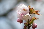 2010阿里山.櫻花.春浪漫:20100318阿里山0300.JPG