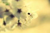 2014 阿里山櫻花:DSC04371.JPG