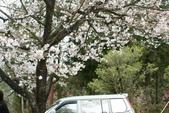 2010 阿里山櫻花:DSC01773.JPG