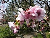 2010阿里山.櫻花.春浪漫:20100318阿里山0052.JPG