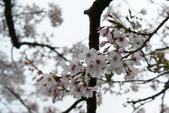 2010 阿里山櫻花:DSC01775.JPG