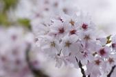 2014 阿里山櫻花:DSC04372.JPG
