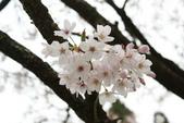 2010 阿里山櫻花:DSC01776.JPG