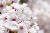 2014 阿里山櫻花:DSC04288.JPG