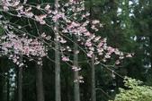 2010 阿里山櫻花:DSC01826.JPG