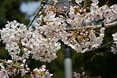 2010阿里山.櫻花.春浪漫:20100318阿里山0247.JPG