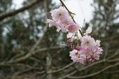 2010 阿里山櫻花:DSC01840.JPG