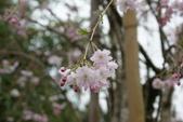 2010 阿里山櫻花:DSC01848.JPG
