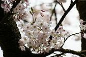 2010阿里山.櫻花.春浪漫:20100318阿里山0329.JPG