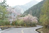 2010 阿里山櫻花:DSC01850.JPG