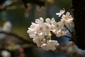 2010 阿里山櫻花:DSC01665.JPG