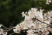 2010阿里山.櫻花.春浪漫:20100318阿里山0333.JPG