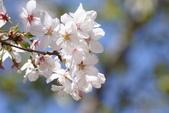 2014 阿里山櫻花:DSC04262.JPG