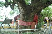浴火重生的集集火車站:集集大樟樹