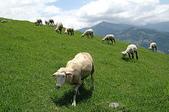 綠草如茵、綿羊成群的清境農場:DSC_0268.JPG