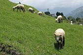 綠草如茵、綿羊成群的清境農場:DSC_0259.jpg