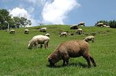 綠草如茵、綿羊成群的清境農場:DSC_0253.JPG