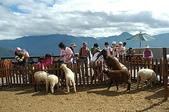 綠草如茵、綿羊成群的清境農場:DSC_0292.JPG