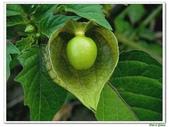 燈籠草(苦蘵)-茄科-藤蔓植物-飢荒野菜:燈籠草(苦蘵)06.jpg