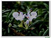 匍匐迷迭香-唇形科-香草植物-草本花卉-地被植物:匍匐迷迭香20.jpg
