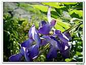 紫藤-豆科-藤蔓植物:紫藤17.jpg