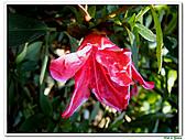 洋紅杜鵑-杜鵑花科-木本花卉:洋紅杜鵑07.JPG