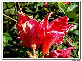洋紅杜鵑-杜鵑花科-木本花卉:洋紅杜鵑08.JPG